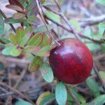 A ripe cranberry in Etna, Maine