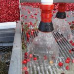 A Maine cranberry harvest (berries are getting washed and separated from debris)