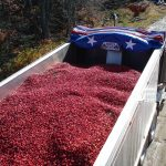 Maine cranberries, freshly-harvested, before heading off to be processed