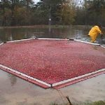 A cranberry harvest - Columbia Falls, Maine