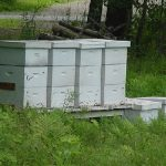 Honeybee hives placed beside a Maine cranberry bed