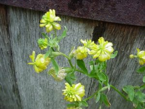 Photo showing some flowering stems of a clover called Hop Clover