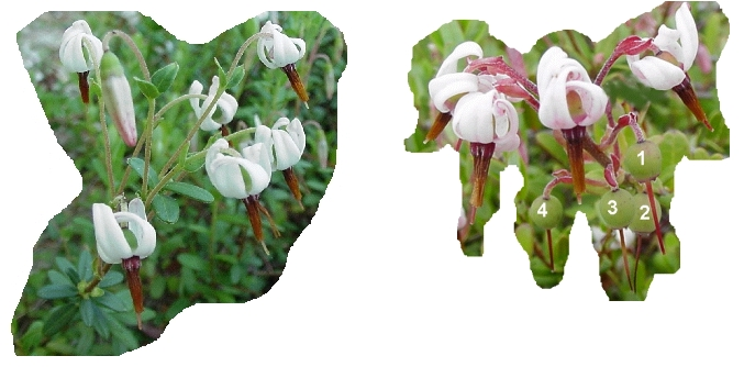 A picture of some cranberry pinheads and blossoms, to use in conjunction with the practice exercise for calculating percent out-of-bloom