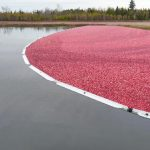 Cranberry harvest in downeast, Maine - 2009
