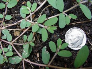 Photo of prostrate spurge beside a U.S. dime for scale purposes