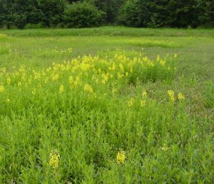 Patches of Yellow Loosestrife in a Maine cranberry bed, photographed July 27th, 2004.