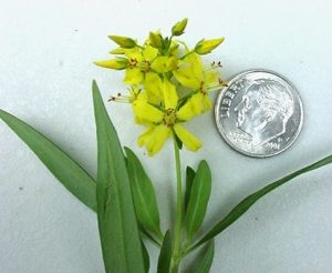 Upper portion of a yellow loosestrife plant that is flowering, with a U.S. dime for scale purposes.