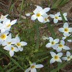 A clump of dainty wildflowers called bluets or Quaker ladies