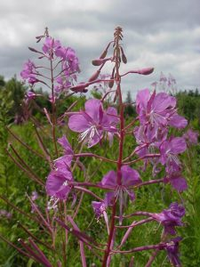 Upper portion of a fireweed plant, in bloom, in downeast Maine
