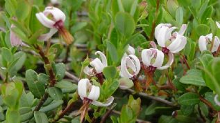 Cranberry blossoms in Lincolnville Center, Maine
