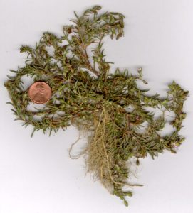 Photo of a Sandspurry plant with a U.S. penny for scale purposes