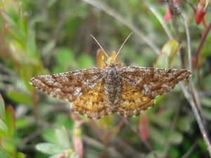 Photo of an Isturgia/Epelis moth