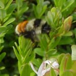 A bumblebee about to visit a cranberry blossom