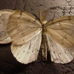 picture of a Chainspotted Geometer Moth (photographed in mid-September, in Maine)