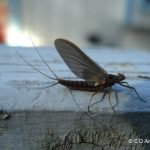 A mayfly adult resting on a deck railing