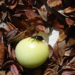 Photo of a Red-headed Flea Beetle resting on top of a Maine cranberry - Late August 2009