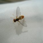 A species of Syrphid Fly
