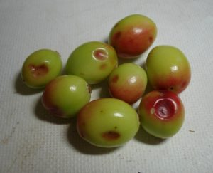 cranberries with hail damage located in Columbia Falls, Maine