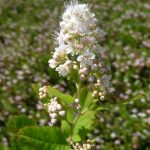 View of the topmost portion of a meadowsweet plant, photographed on a cranberry bed July 9th, 2014