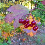 photo showing some of the red berries on a highbush cranberry tree