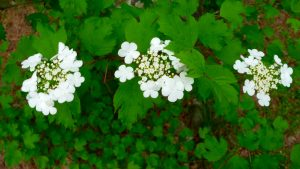 photo of three flower clusters on a highbush cranberry tree
