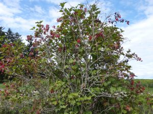 An American Highbush cranberry tree in southeastern Minnesota