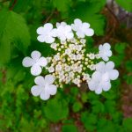 photo of a flower cluster on a highbush cranberry tree