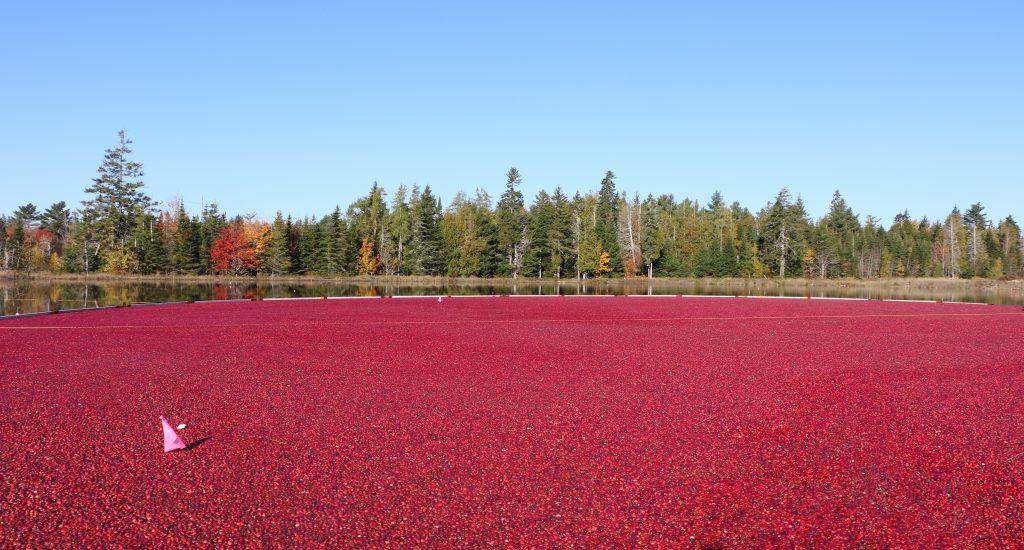 Photo of a Maine cranberry harvest in Jonesboro, October 2016