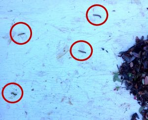 Four blackheaded fireworm larvae with red circles drawn around them to make them easier to see in the photo.