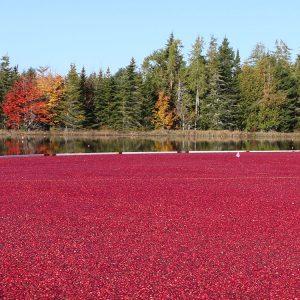 Jonesboro cranberry harvest