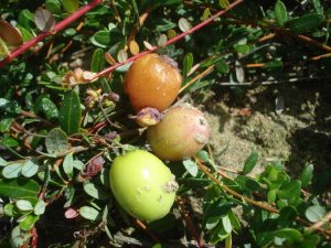 photo of three Maine cranberries and one of them is discolored (orange) due to fruit rot infection