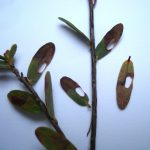 Cranberry leaves with distinctive holes caused by a leafminer insect which is shown in the adjacent photo at right - photographed 06/23/14