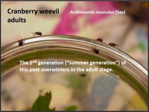 Photo of five cranberry weevils crawling along the edge of a small glass jar (a baby food jar)