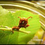 a Horned Spanworm caterpillar (a.k.a. Filament Bearer) (from Washington County, Maine; 6/24/2004)