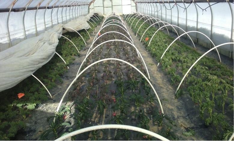 Crops growing in a hoop house