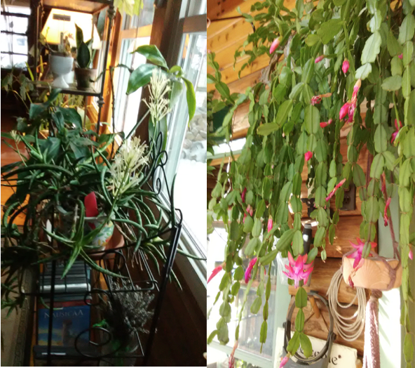 Photo 1: Houseplants beside a sunny window. Photo 2: Hanging Christmas cactus in bloom