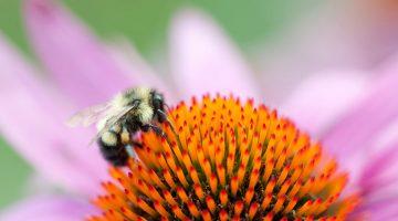 Bee on purple coneflower.