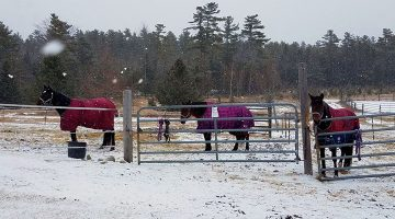 Three horses outside in the snow at Witter Farm