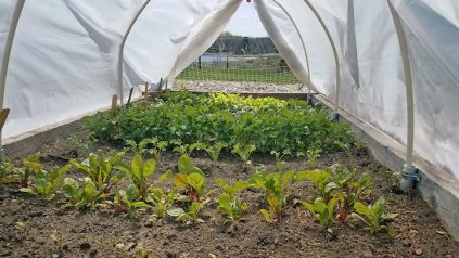 Vegetables growing in a hoop house at Tidewater Farm