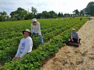 Maine Harvest for Hunger volunteers picking strawberries
