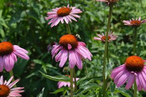 bee on coneflowers