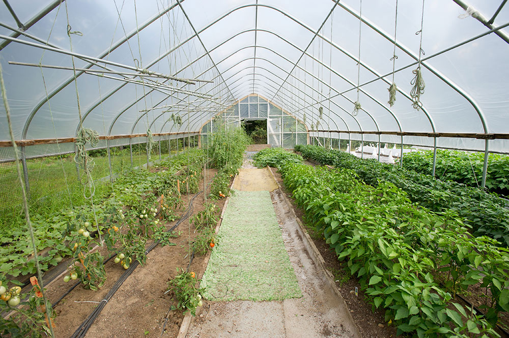 tomatoes and other crops growing in a high tunnel