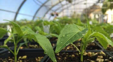 seedling plants in a greenhouse
