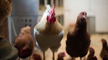chickens in a coop