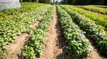 Little Ridge Farm, rows of planted beans