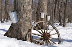 maple trees with tapping buckets.