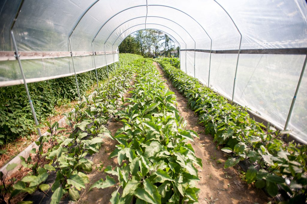 vegetables growing in hoop house
