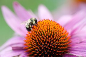 Bumblebee pollinating a purple coneflower