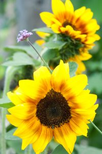 Two sunflowers in the garden