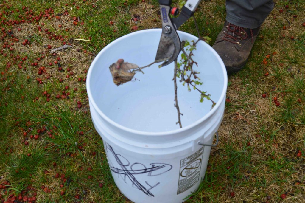 Pruners holding a crabapple branch with a caterpillar nest on it, and dipping it into a bucket of soapy water.